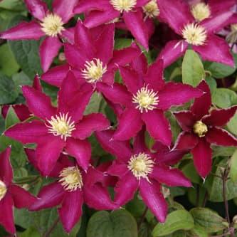 Van der Starre - Clematis So Many Red Flowers PBR