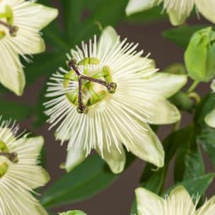 Van der Starre - Passiflora Snow Queen PBR