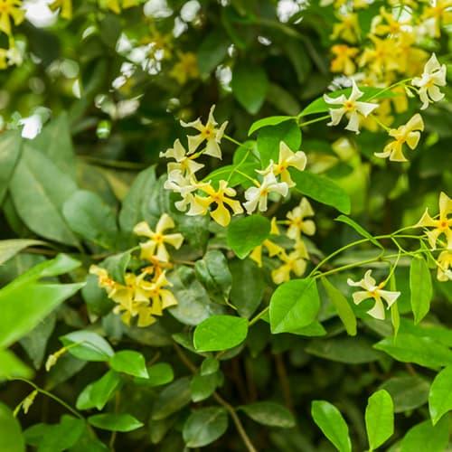 Van der Starre - Trachelospermum Star of Toscane PBR