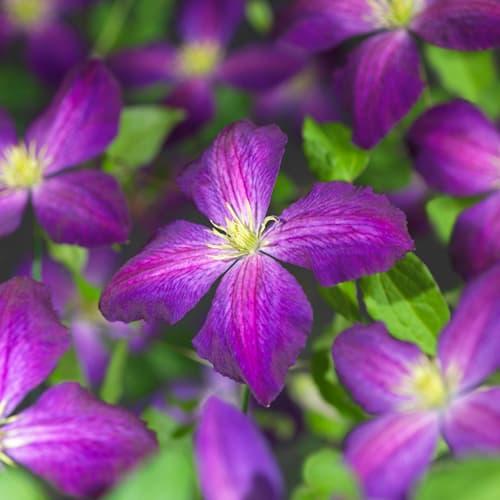 Van der Starre - Clematis So Many Purple Flowers PBR