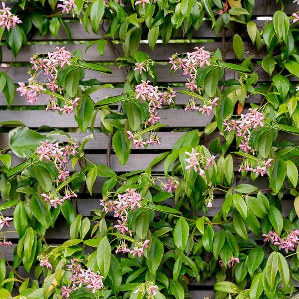 Van der Starre - Trachelospermum Pink Air PBR