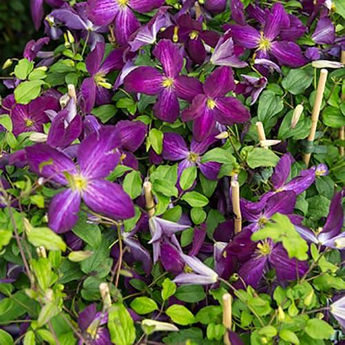 Van der Starre - Clematis Jackmanii Purpurea PBR