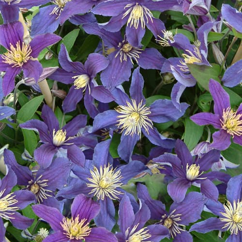 Van der Starre - Clematis So Many Blue Flowers PBR