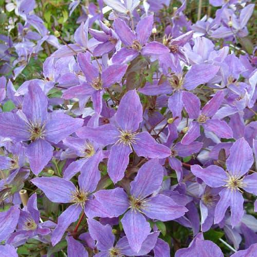 Van der Starre - Clematis So Many Lavender Flowers PBR