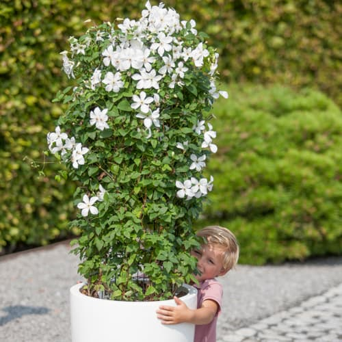 Van der Starre - Clematis So Many White Flowers PBR