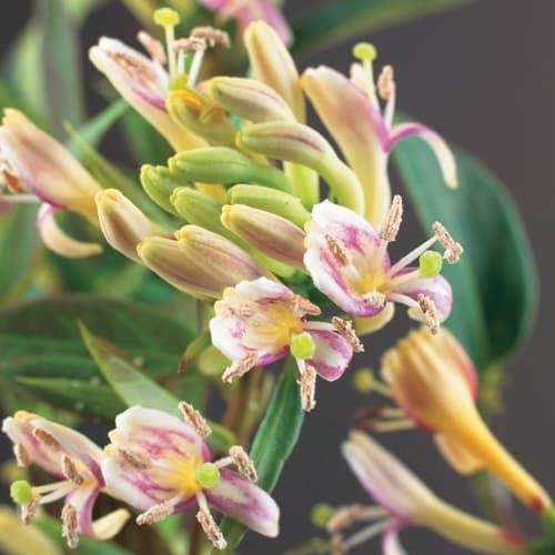 Van der Starre - Lonicera H. Copper Beauty PBR