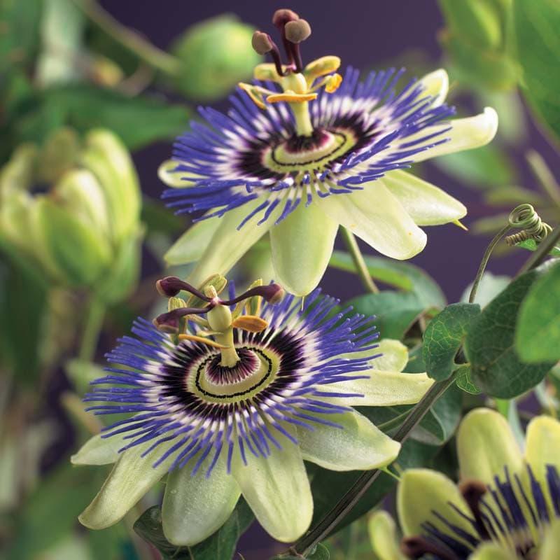 Van der Starre - Passiflora Caerulea