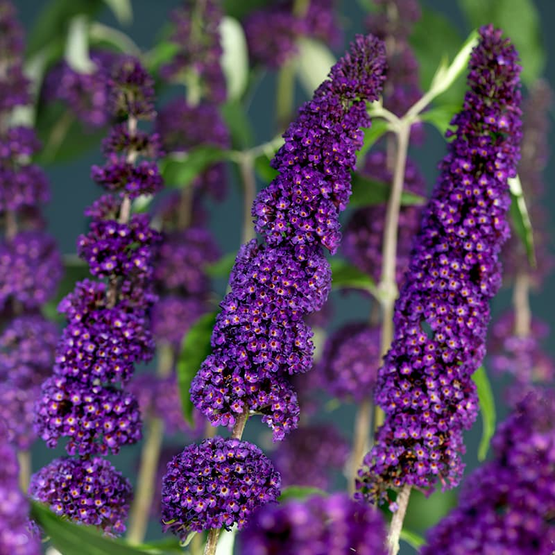 Van der Starre - Buddleja Black Knight