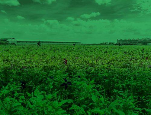 De meest arbeidsintensieve teelt: klimplanten