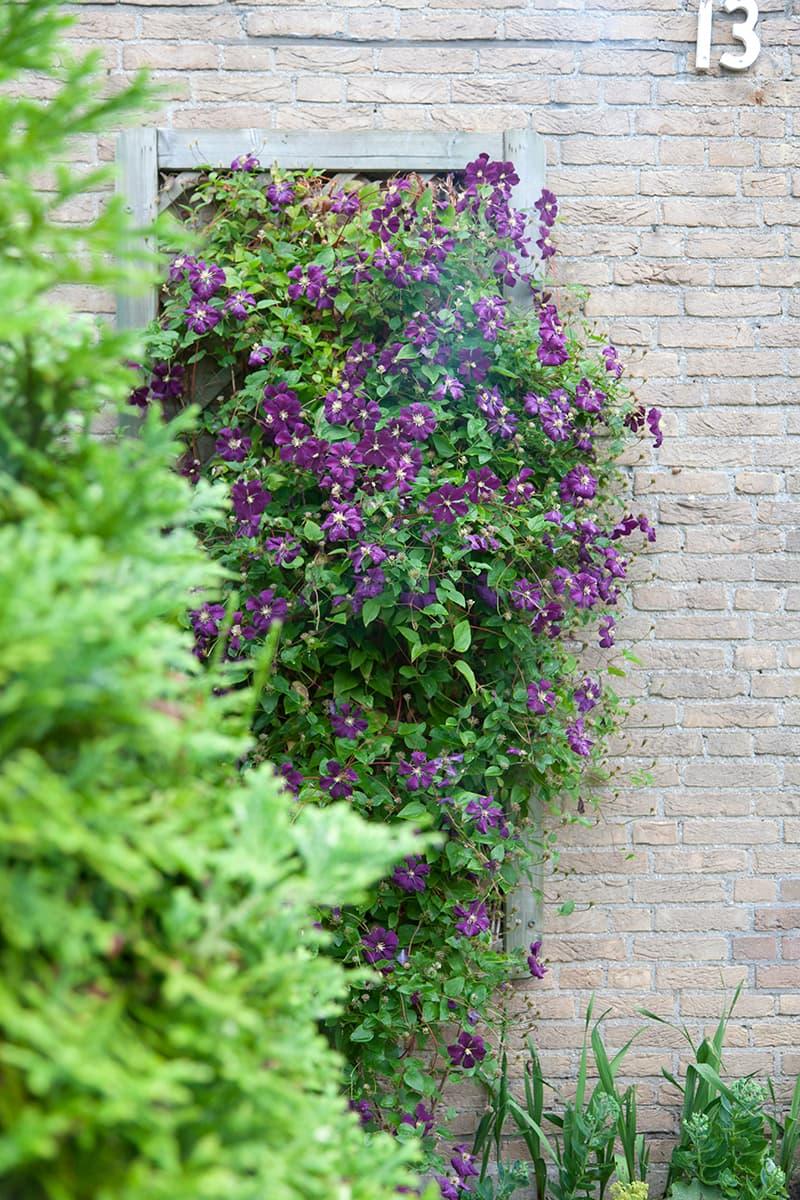 Van der Starre - Clematis Etoile Violette