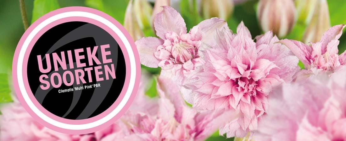 Van der Starre - Clematis 'Multi Pink'